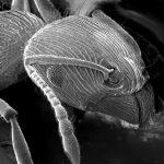 Ameisenkopf im Rasterelektronenmikroskop.